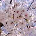 Photos: さくら 広島市南区松川町 松川公園 2015年3月30日
