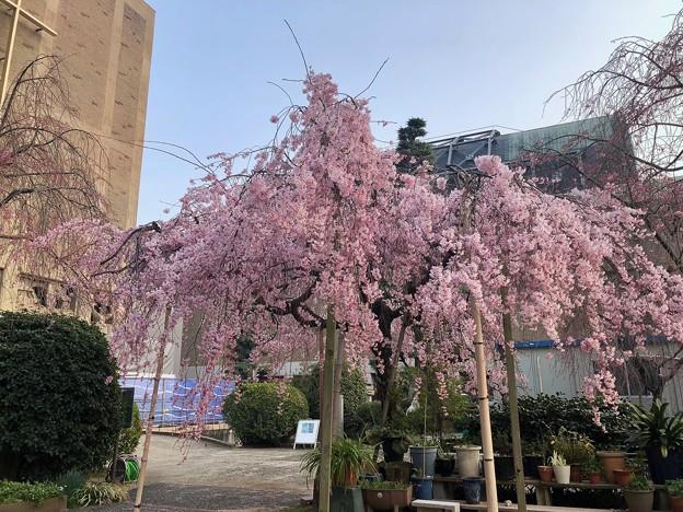 世界平和記念聖堂 Memorial Cathedral for World Peace sakura 広島市中区幟町 2018年3月25日