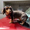 Photos: ラブこ black and tan miniature dachshund