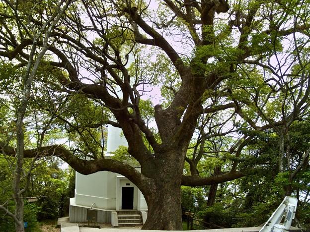 宇品灯台 クスノキの大木 樹齢300年 広島市南区元宇品町 元宇品公園 2011年5月6日