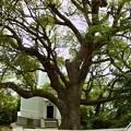 Photos: 宇品灯台 クスノキの大木 樹齢300年 広島市南区元宇品町 元宇品公園 2011年5月6日