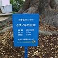 Photos: 元宇品のシンボル クスノキの大木 広島市南区元宇品町 元宇品公園 2011年5月6日