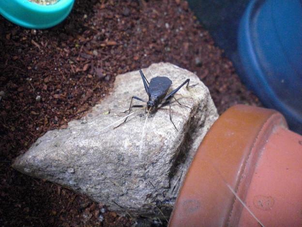 写真: 飼っている鈴虫