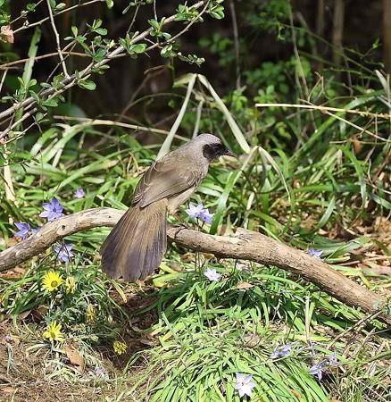 野鳥(1102)カオグロガビチョウ、 篭脱け鳥