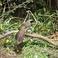 写真: カオグロガビチョウ(1)