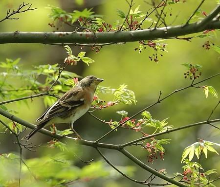 野鳥(1104)−アトリ、新緑の中で