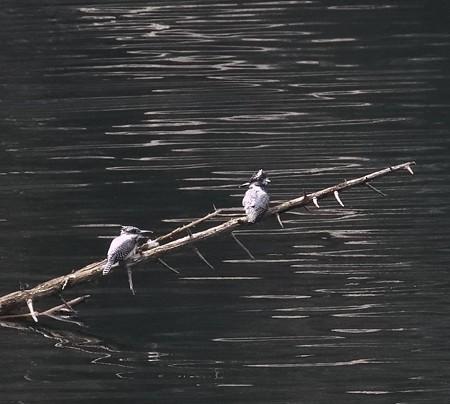 野鳥(1106)−ヤマセミ、 遥か遠いところで