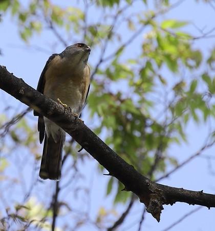 野鳥(1110)−ツミの番、巣造り