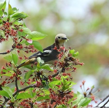 野鳥(1113)−コムクドリ、 綺麗な雄
