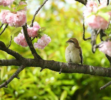 野鳥(1114)−モズの雛達、独り立ちも近い