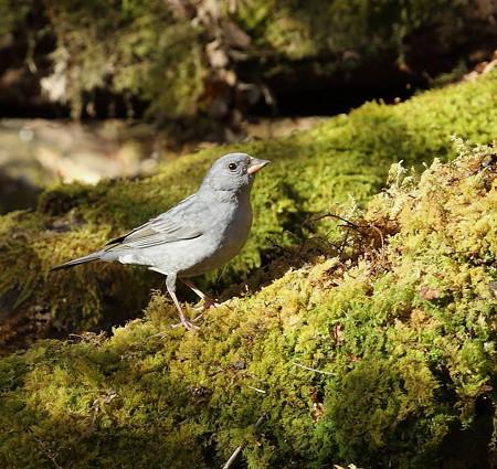 野鳥(1118)−クロジ、地味ですが