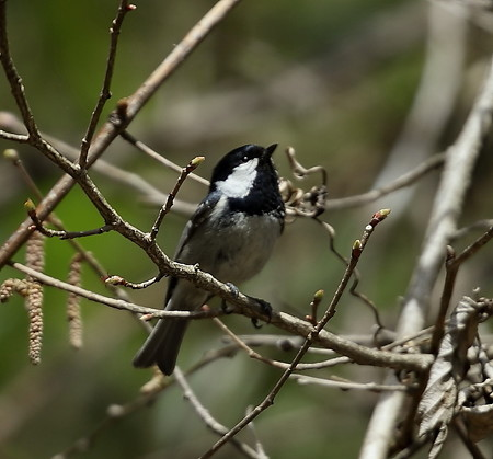 野鳥(1120)−ヒガラ、地味ですが