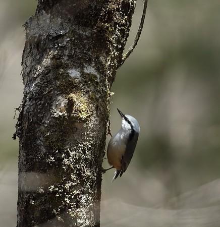 野鳥(1121)−ゴジュウカラ、落葉針葉樹林で