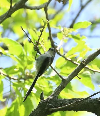 エナガ幼鳥(4)