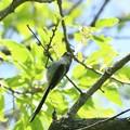 写真: エナガ幼鳥(4)