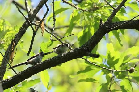 エナガの幼鳥2羽(3)