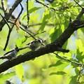 写真: エナガの幼鳥2羽(3)