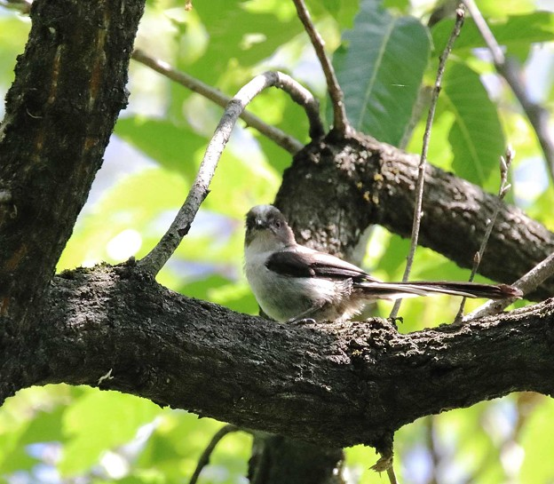 写真: エナガ幼鳥(2)