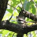 エナガ幼鳥(2)
