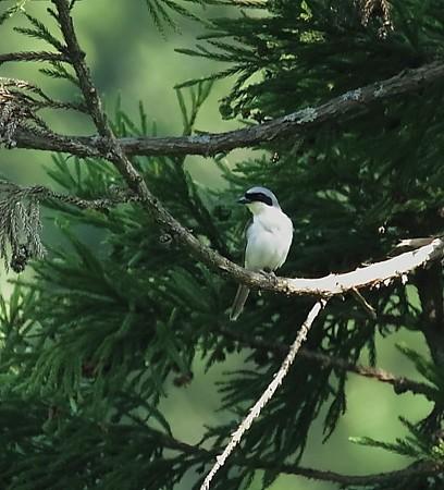 野鳥(1138)−チゴモズ、今年も会えました