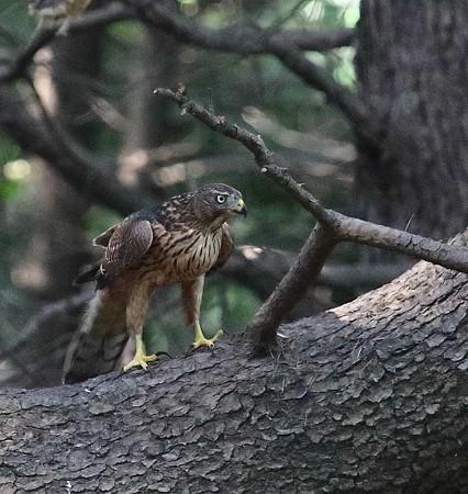 野鳥(1150)-オオタカ幼鳥. 希少種解除?