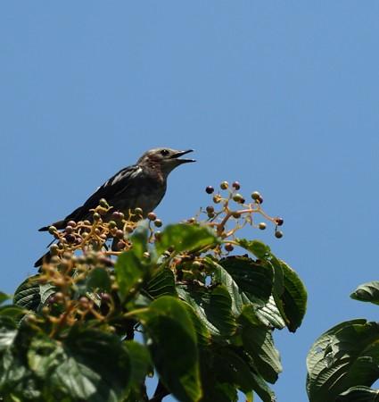 野鳥(1152)−コムクドリ、 ミズキに
