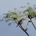 写真: ノビタキ換羽中の成鳥(4)