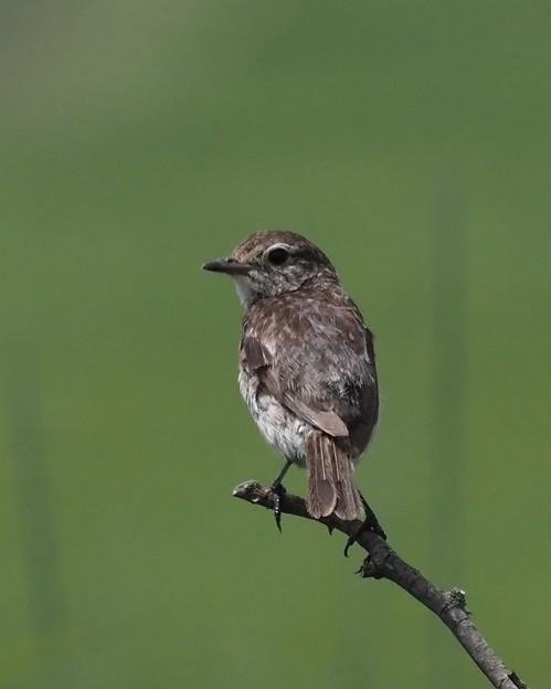 写真: ノビタキ幼鳥(3)