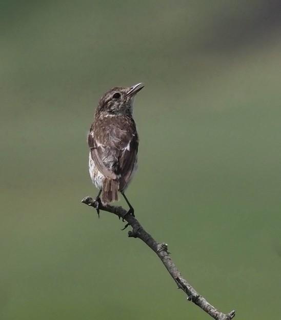 写真: ノビタキ幼鳥(1)