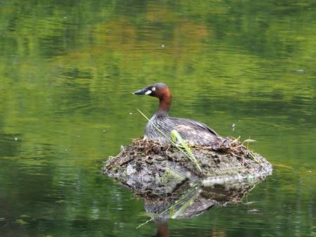 野鳥(1157)−カイツブリ、 今年も・・・(その一)