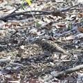 トラツグミ(3)