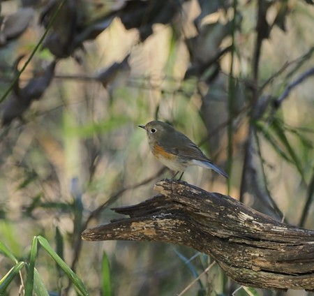 野鳥(1254)-ルリビタキ( 雌タイプ)、そろそろ旅立ち?