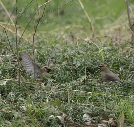 野鳥(1255)-ヒレンジャク、リュウノヒゲを
