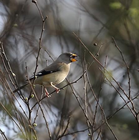 野鳥(1258)-コイカル♀、今季は2度目