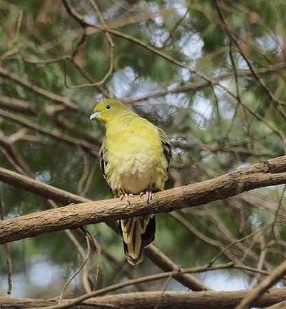 野鳥(1260)-アオバト、動かない