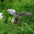 チョウゲンボウ 飛翔3