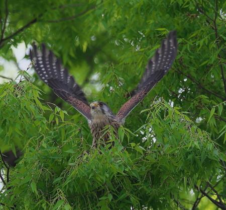 野鳥(1263)−チョウゲンボウ、飛んで飛んで!(その二)