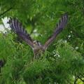 写真: チョウゲンボ 飛翔1