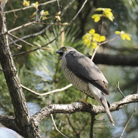 野鳥(1266)−ツミ 雌、巣作り中