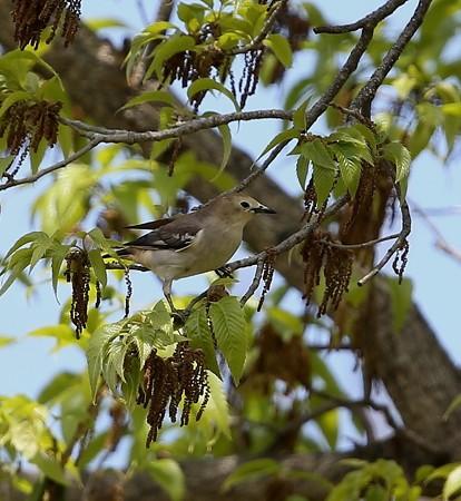 野鳥(1268)-コムクドリ 雌、お腹の淡いクリーム色が可愛い