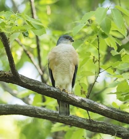 野鳥(1269)−ツミ、今回は番で(1)