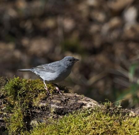 野鳥(1272)−クロジ&アカハラ、 お山で再会