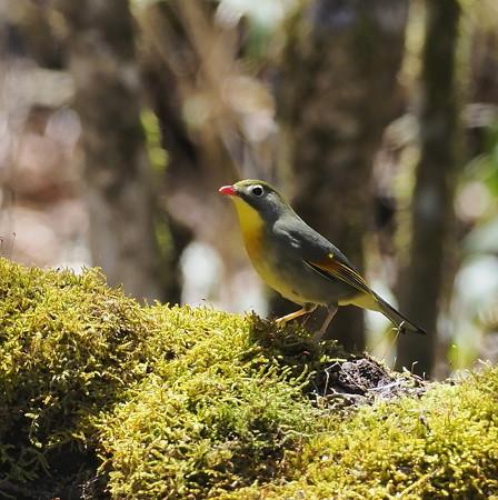 野鳥(1273)-ソウシチョウ、久しぶり