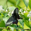 カラスアゲハチョウ:翅の色が綺麗