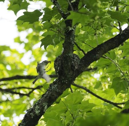 野鳥(1275)−コサメビタキ、子育てに大忙し