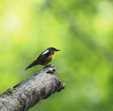 野鳥(1278)ーキビタキ、新緑に響く