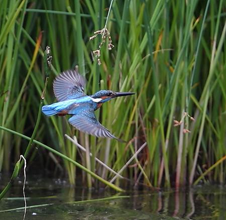 カワセミ(212)−飛翔、連続写真
