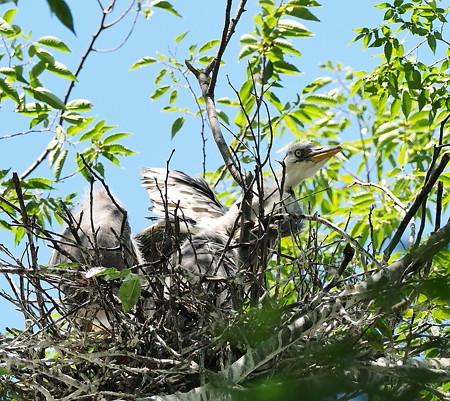 野鳥(1283)ーアオサギ、雛3兄弟