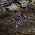 写真: サンコウチョウ 水浴(3)