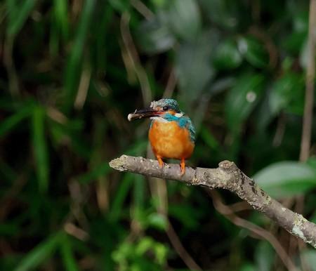 カワセミ(214)−親鳥、給餌に一目散!